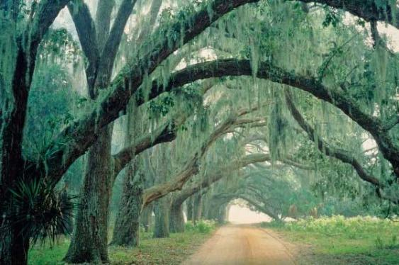 Huge Oak trees are found throughout beautiful Bluffton, SC